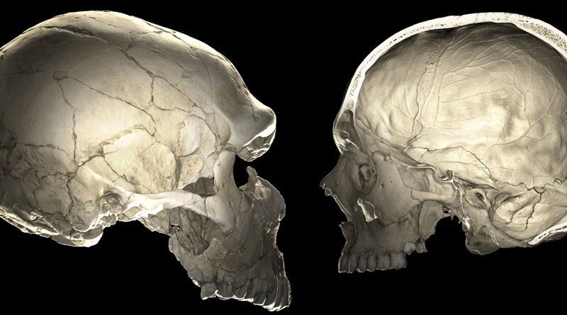 Links: Computertomographie (CT) eines Neandertalerfossils (La Ferrassie 1). Rechts: CT-Scan eines modernen Menschen. Bild: IDW