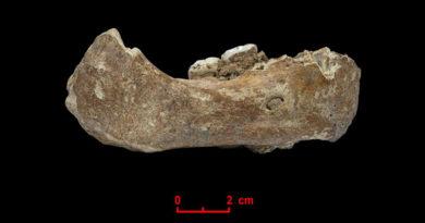 Der Xiahe-Unterkiefer, von dem nur die rechte Hälfte erhalten ist, wurde 1980 in der Baishiya Karst Höhle gefunden. - Bild: © Dongju Zhang, Lanzhou University