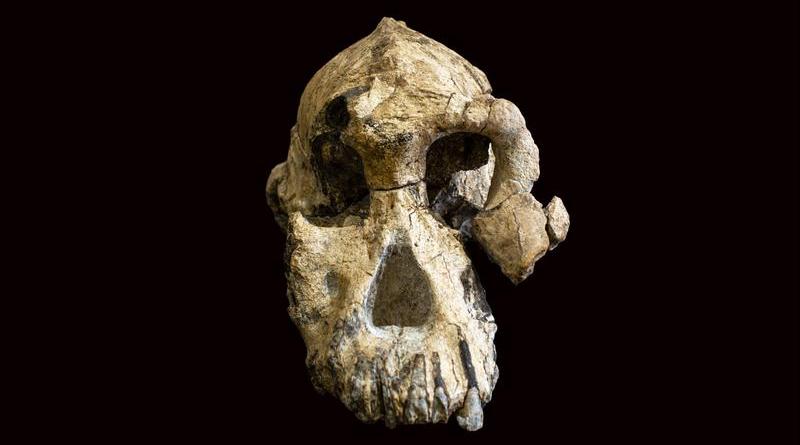 Der 3,8 Millionen Jahre alte fossile Schädel eines Australopithecus anamensis ist erstaunlich gut erhalten. - Bild: © Dale Omori, Cleveland Museum of Natural History