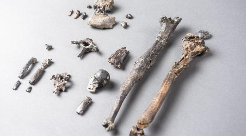 Die 21 Knochen des am vollständigsten erhaltenen Teil-Skelettes eines männlichen Danuvius - Foto: Christoph Jäckle
