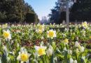 220.000 Frühlingsblüher: Narzissen 'Cragford' sowie Dichter-Narzissen (Narcissus poeticus 'Actea') sorgen im Nordpark für gelbe und weiße Tupfer - © Landeshauptstadt Düsseldorf/Melanie Zanin