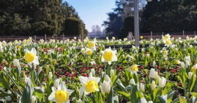 220.000 Frühlingsblüher bringen den Frühling in die Grünanlagen von Düsseldorf