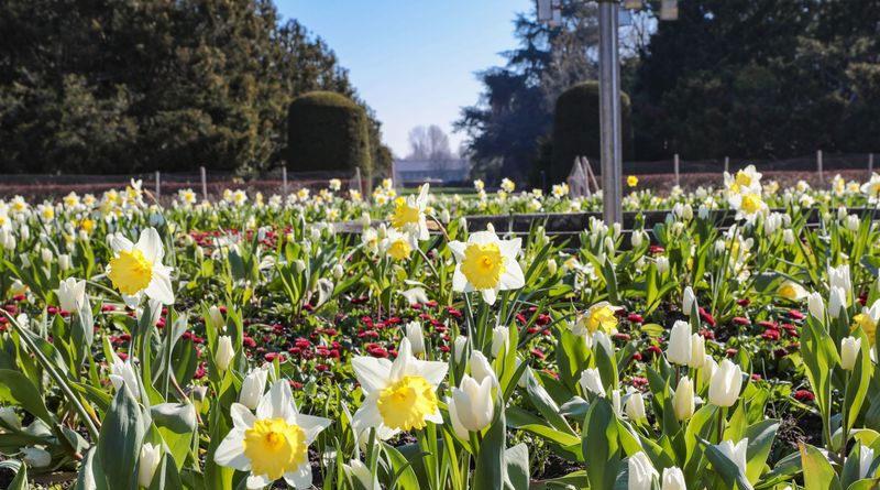 Narzissen 'Cragford' sowie Dichter-Narzissen (Narcissus poeticus 'Actea') sorgen im Nordpark für gelbe und weiße Tupfer - © Landeshauptstadt Düsseldorf/Melanie Zanin