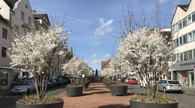 Pilotprojekt mit Kirschbäumen auf dem Kaiserswerther Markt